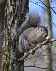 Gray squirrel 4